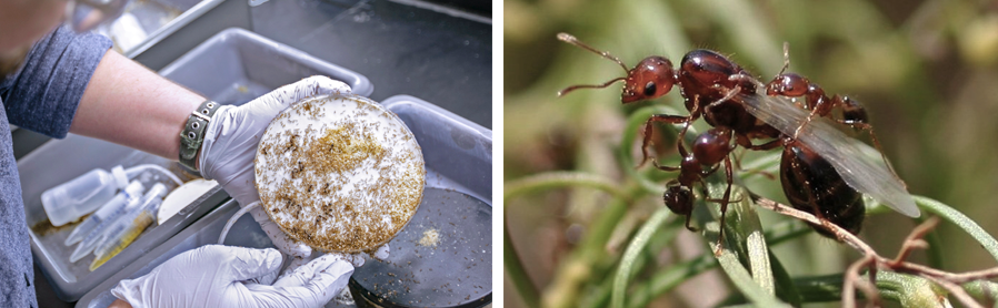 The red imported fire ant, Solenopsis invicta, is currently a primary system of study (fire ant photo credit: M. Goodisman)